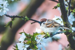 Horizontal photo with male sparrow bird. Avian is perched on a branch of cherry tree. Many white spring blooms are on the fruit tree. Bird has nice grey and brown color.