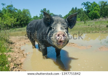 Horizontal phtoto of a standing in a muddy pond black piglet turned his dirty snout into the camera