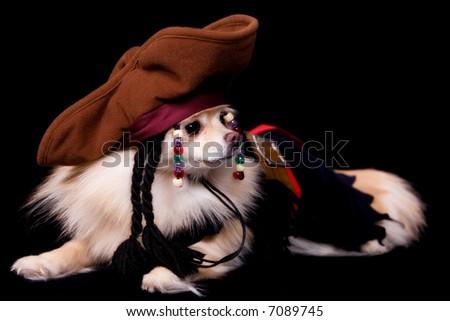 Horizontal portrait of a pet pomeranian dressed as a pirate.