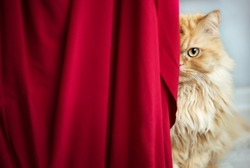 Horizontal portrait of red half persian cat with yellow eyes looking from behind red curtain. Domestic beautiful beloved cat. Healthy sterilized vaccinated without fleas and ticks cat