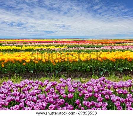 Horizontal row of tulips on the field in the spring time