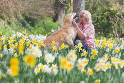 Horizontal shot of a senior woman kneeling playing with her dog in a daffodil field on a sunny day.