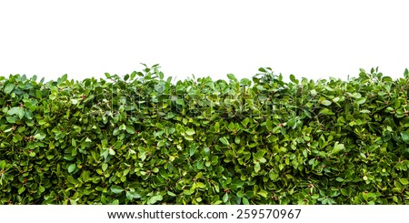 Horizontal shot of green hedge with fetus isolated on white background