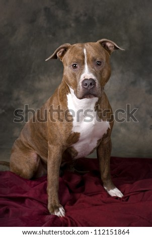 Horizontal studio shot of a Weimaraner dog on a 255 white background with copy space.