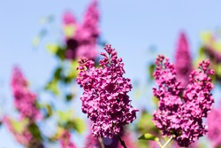 Horizontal view of blooming violet lilac flowers Syringa vulgaris against a blue sky on a sunny spring day