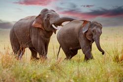 Hormonally charged elephants at Jim Corbett National Park, India