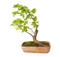 Hornbeam bonsai isolated on white background with clipping path