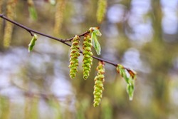 Hornbeam (Carpinus betulus) spring catkins on blurred background. Hornbeam blossoming catkins as Allergy trigger