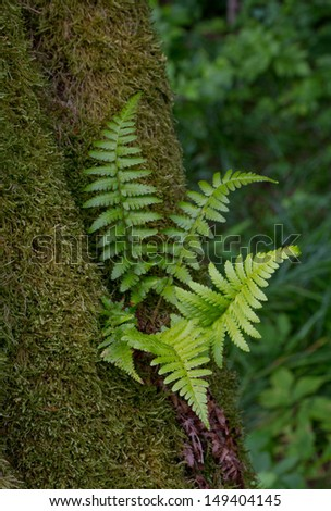 Hornbeam tree trunk moss wrapped and juvenile fern grows over