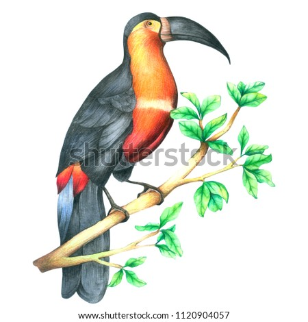 Hornbill Bird on branch watercolor isolated  on white background , Hand drawn painted for Greeting Card ,Wallpaper ,Postcards, Product,Packaging and more
