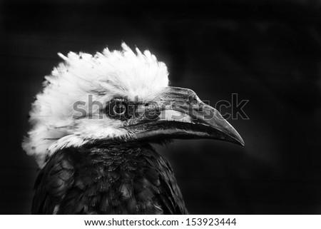 Hornbill black and white
