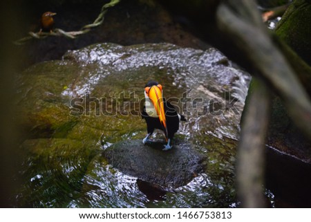 Hornbill (Bucerotidae) perched on a tree branch over a running water