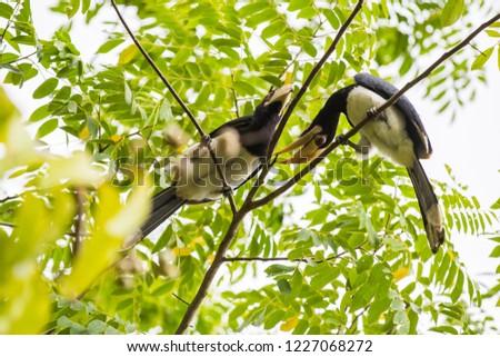 Hornbill in three Thailand #1227068272