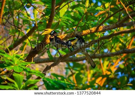 Hornbill on Penang island, Malaysia