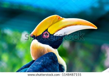 Hornbills , Bucerotidae in Thailand