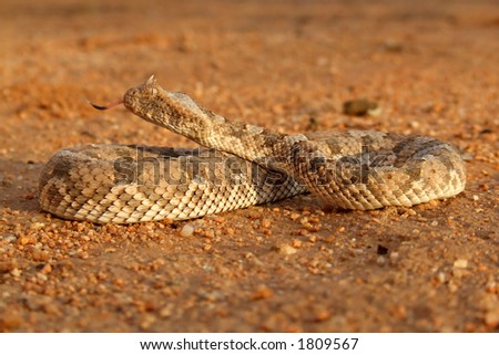 Horned adder (Bitis caudalis) in defensive position, Namibia