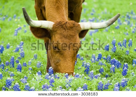 Horned bovine grazing peacefully with lovely Bluebonnet flowers peppered though out the green grass.