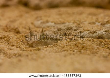 Horned desert Viper on the sand.