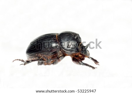 Horned dung beetle (Copris lunaris) isolated on white