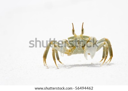 Horned Ghost Crab on snow white sand, La Digue, Republic of Seychelles