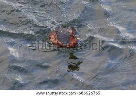 Horned grebe catched a fish. A rare European duck species on a close up picture.