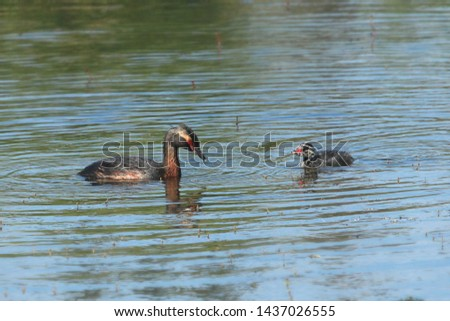 Horned Grebes (adult and juvenile) (breeding) #1437026555