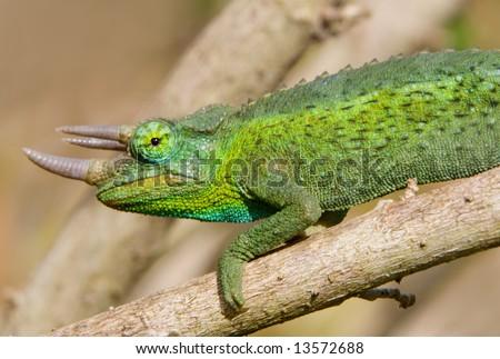 Horned green chameleon on tree branch