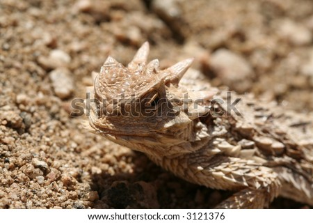 horned (horny) toad