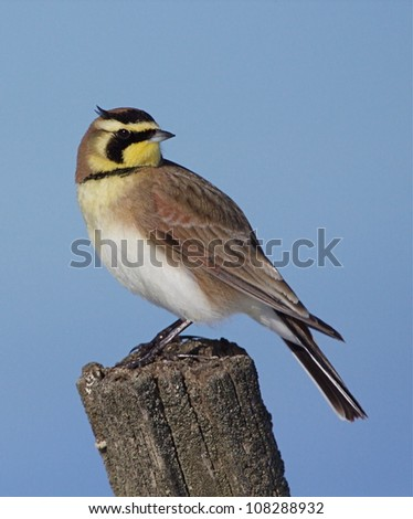 Horned Lark with head turned, on post with clear blue sky background