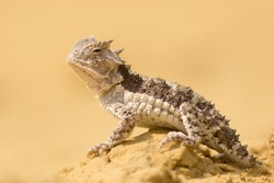 Horned lizards (Phrynosoma), also known as horny toads or horntoads, are a genus of North American lizards and the type genus of the family Phrynosomatidae.
