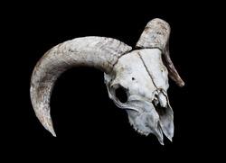 Horned Ram Sheep Skull Head On Black Background