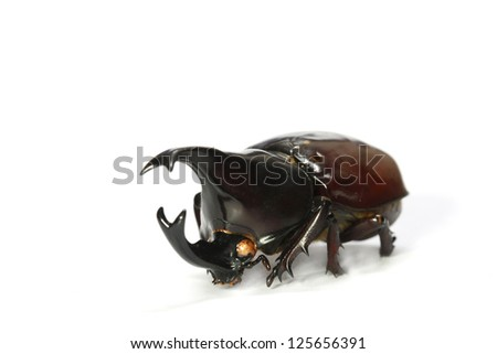 horned rhino beetle on a white background, Set of realistic colorful tropical long horn beetle and insect, zoology,wild ,entomology, one alive exotic wing collection ,insect animal stuff icon