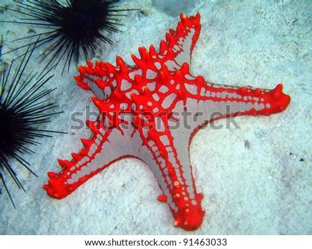 Horned Sea Star, Nungwi, Zanzibar, Tanzania