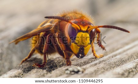 hornet close up details of fear inducing insect