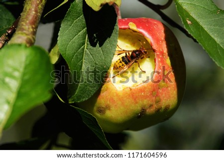 Hornet eats an apple