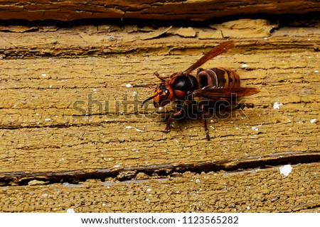 Hornet on a log. Dangerous insect for human life.