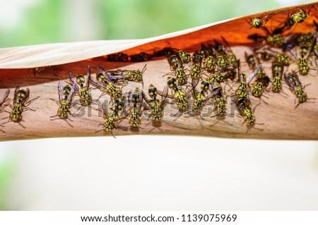 Hornet, Wasp, hornet's nest