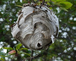 Hornets nest in a branch