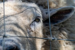 Hornless ram head closeup, animal looking trough a metal wired fence, unhappy livestock sheep, sad animal kept captive, bearing witness to eploitation of animals, sentient ram behind bars