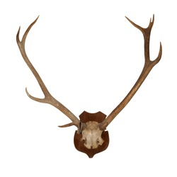 Horns of an animal. Horns of largly horned stock, it is isolated on a white background