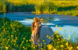 Horse along the edge of a lake with reed and colorful wild flowers at sunrise in an early summer morning under a blue sky, Almere, Flevoland, The Netherlands, July 31, 2020