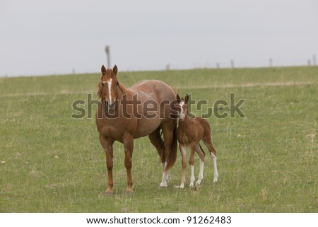 Horse and Colt in Pasture Saskatchewan Canada