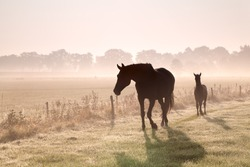 horse and foal silhouettes in fog at sunrise