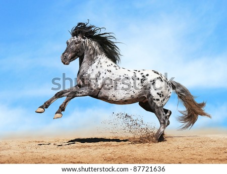 Horse Appaloosa color play on meadow in sky background