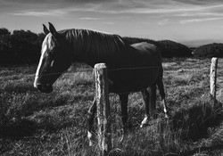 Horse at meadow. Normandy, France. French countryside background. Animal portrait. Black white photo.