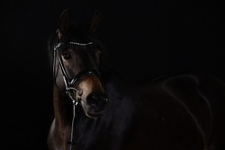 Horse black portraits in the studio low key, horse looks attentively to the left with its ears raised.