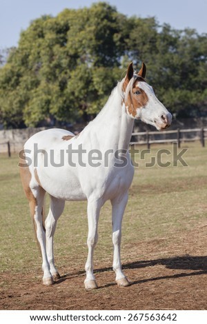 Horse Blue Eye Animal\ Horse blue eyes white brown closeup of equestrian animal.