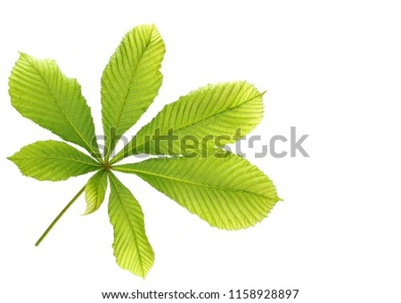 Horse-chestnut (Aesculus hippocastanum, Conker tree) leaves isolated on white