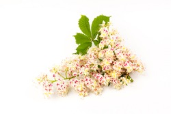 Horse chestnut blooming flowers. White candles of flowering horse-chestnut against white background. Spring concept