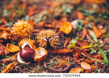 horse chestnut buckeye conker outside on the ground